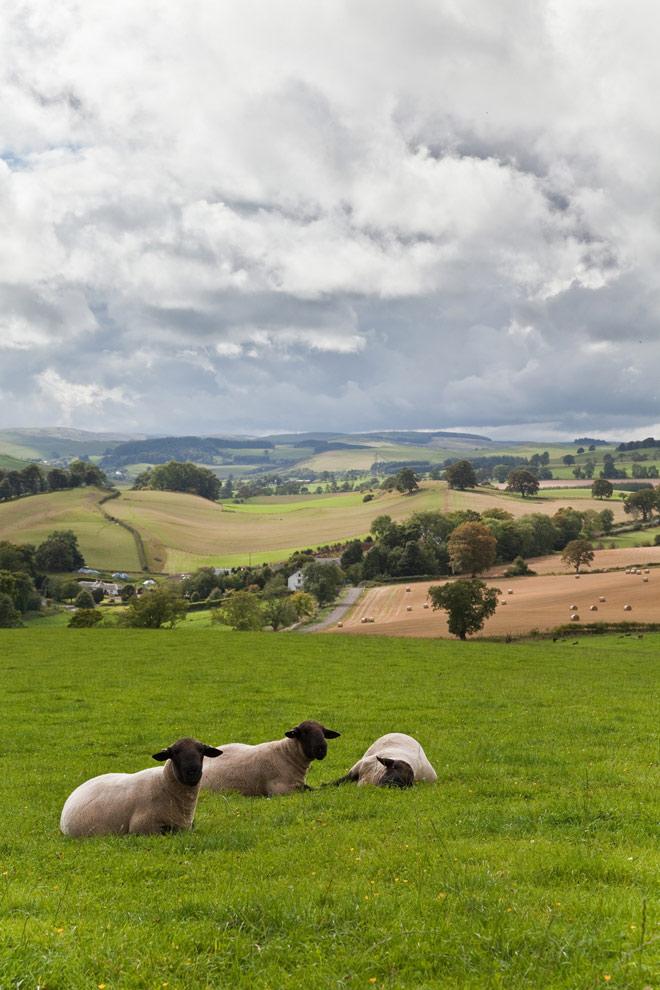 Sheep on Riddell Estate